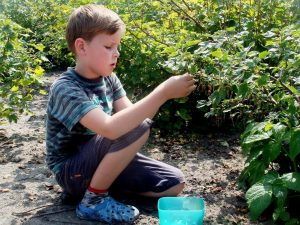little boy picking berries in a garden